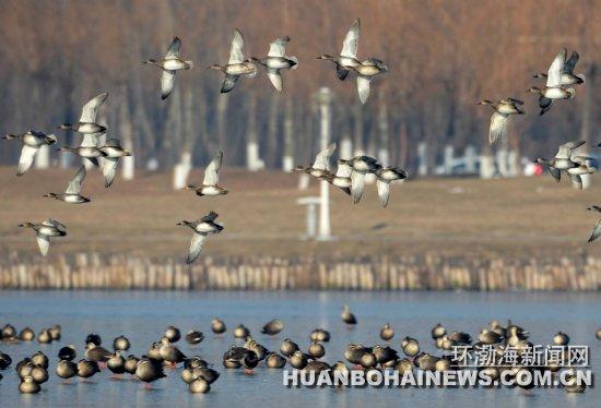 /enpproperty-->  赤膀鸭低空飞行。 环渤海新闻网消息 入冬以来,成群结队的野鸭聚集我市南湖湿地公园,据常年在南湖拍摄野生鸟类的摄影爱好者统计,野鸭品种除了为数众多的绿头鸭和斑嘴鸭外,还有种群数量较少的普通秋沙鸭、赤麻鸭、赤膀鸭、罗纹鸭等稀有品种,野鸭总数近万只。 野鸭属候鸟,一般冬季会迁徙到温暖的南方越冬,据了解,野鸭选择唐山南湖作为越冬地,缘于这里有常年不结冰的水域,繁茂的水草和小鱼小虾又为野鸭提供了充足的食物来源,加上有关部门和游客的保护,使野鸭把这里当成越冬的乐园。刘玉玺闫军 摄